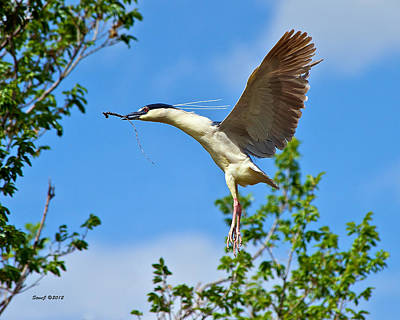Night Heron Building Nest Poster