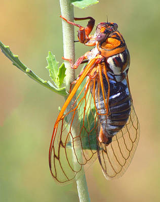 Poster featuring the photograph Noisy Cicada by Shane Bechler