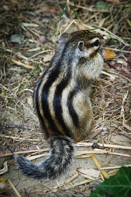 North American Striped Squirrel Poster