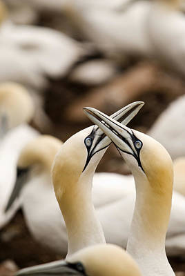 Northern Gannets Morus Bassanus Rubbing Poster by Philippe Widling