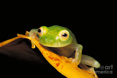 Northern Glass Frog Poster