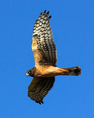 Poster featuring the photograph Northern Harrier Hawk by Joe Urbz