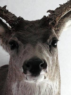 Nosey Buck Poster