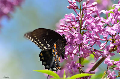 Nothing Says Spring Like Butterflies And Lilacs Poster by Lori Tambakis