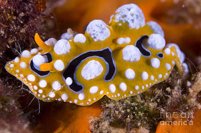 Nudibranch On Coral, Papua  New Guinea Poster by Steve Jones