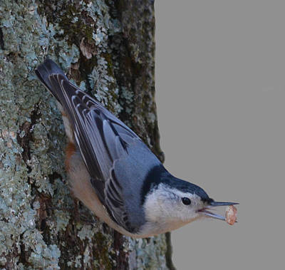 Poster featuring the photograph Nuthatch by Brian Stevens