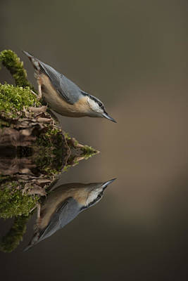 Nuthatch Reflection Poster