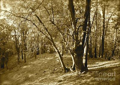 Oak On A Slope Sepia Poster by Maynard Smith