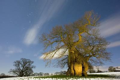 Oak (quercus Robur) Poster by Bob Gibbons