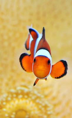 Ocellaris Clownfish Poster by Puzzles Shum