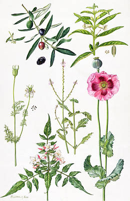 Opium Poppy And Other Plants  Poster