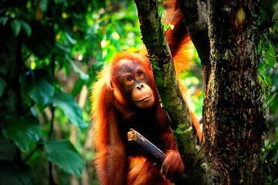 Poster featuring the photograph Orang-utan by Lynn Hughes