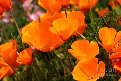Orange California Poppy . 7d14754 Poster by Wingsdomain Art and Photography
