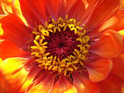 Poster featuring the photograph Orange Daisy by Ronda Broatch