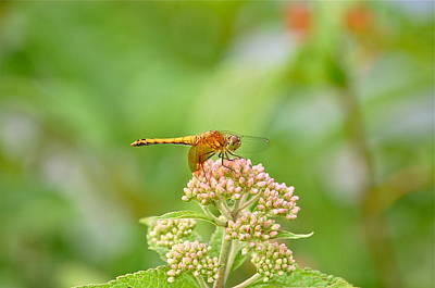 Orange Dragonfly Poster by Mary McAvoy