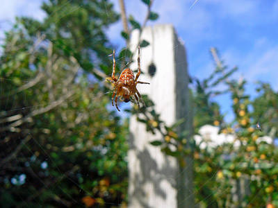 Orange Garden Spider And Fly Poster by Pamela Patch