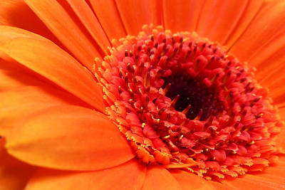 Orange Gerbera Close Up Poster