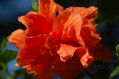 Orange Hibiscus Poster by Aimee L Maher Photography and Art Visit ALMGallerydotcom