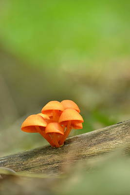 Poster featuring the photograph Orange Mushrooms by JD Grimes