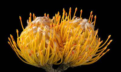 Orange Pincushion Flower On Black Background Poster