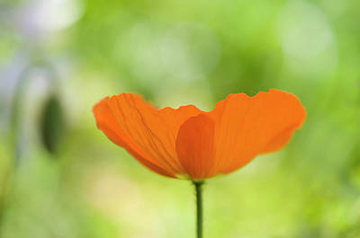 Orange Poppie Poster by Carolyn Dalessandro