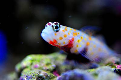 Orange Spotted Shrimp Goby Poster