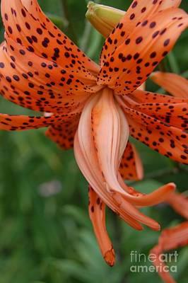 Orange Tiger Lily Poster