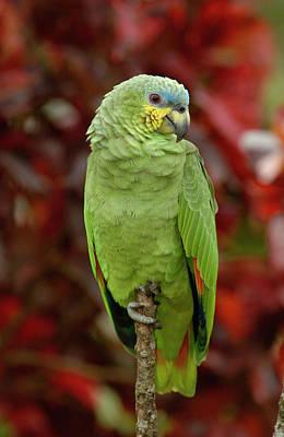 Orange-winged Parrot Amazona Amazonica Poster