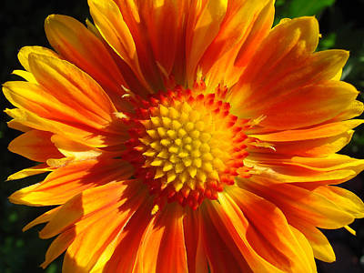 Poster featuring the photograph Oranges And Lemons Gaillardia  by Ronda Broatch