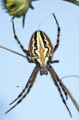 Orb-weaver Spider On Its Web Poster by Paul Harcourt Davies
