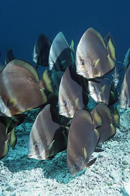 Orbicular Spadefish Poster