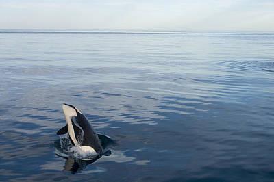 Orca Breaching Southeast Alaska Poster by Flip Nicklin