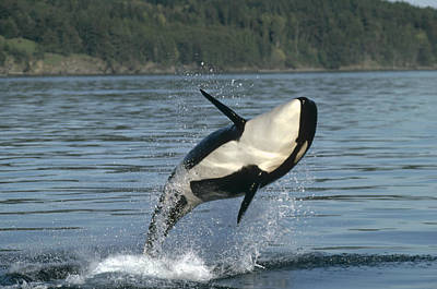 Orca Orcinus Orca Breaching Poster by Gerry Ellis