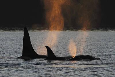 Orca Orcinus Orca Resident Pod Poster by Hiroya Minakuchi