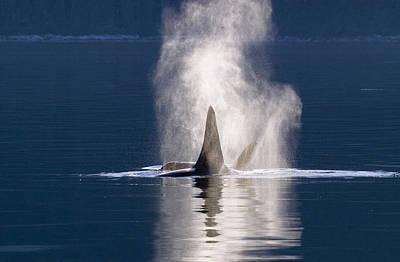 Orca Pair Spouting Southeast Alaska Poster by Flip Nicklin
