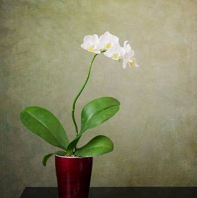 Orchid 2 Poster by Mary Hershberger