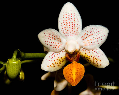 Orchid 28 Poster by Terry Elniski