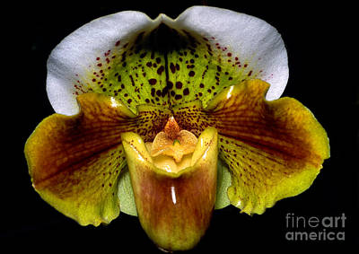 Orchid 53 Poster by Terry Elniski