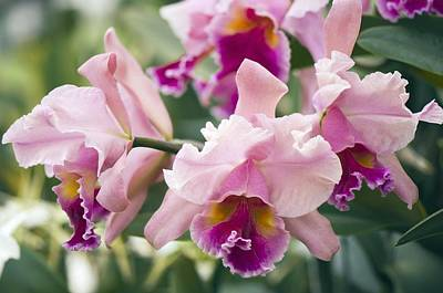 Orchid (cattleya Sp.) Poster