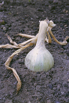 Organic Onion Poster
