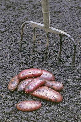 Organic Potatoes Poster