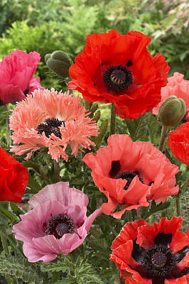 Oriental Poppy Papaver Orientale Flowers Poster by VisionsPictures