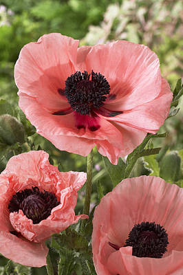 Oriental Poppy Papaver Orientale Salmon Poster by VisionsPictures