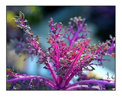 Poster featuring the photograph Ornamental Cabbage by Judi Bagwell