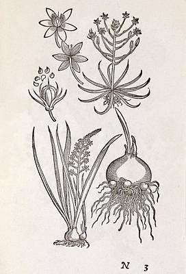 Ornithogalum Plant, 16th Century Poster