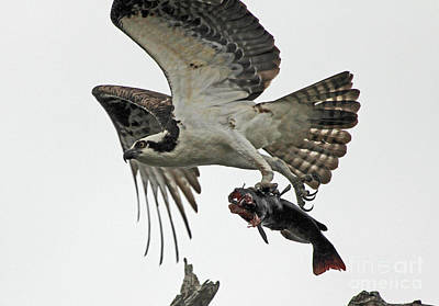 Poster featuring the photograph Osprey - Catfish by Larry Nieland