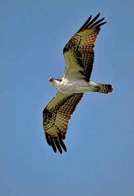 Osprey Above Poster