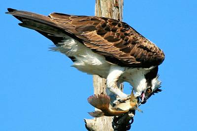 Osprey Eating A Fish Poster