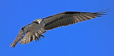 Poster featuring the photograph Osprey Flight by Larry Nieland