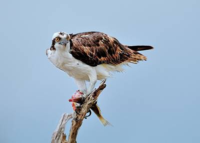 Osprey In The Morning Poster